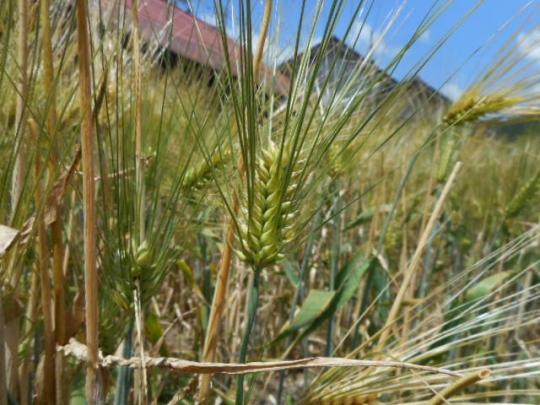 六条大麦 無農薬有機栽培 H2806