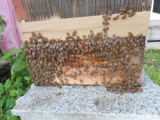 日本蜜蜂 気温暑い 30℃以上 H2807