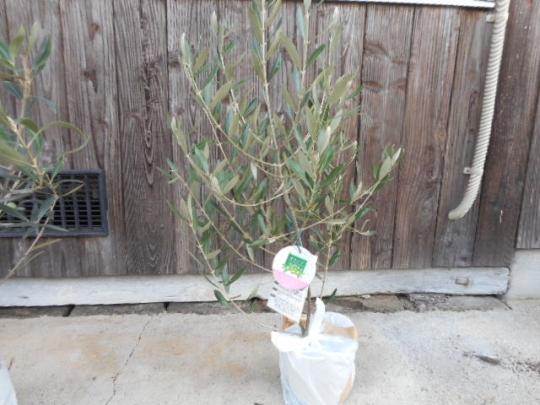 オリーブの木 ミッション 苗木3年生苗