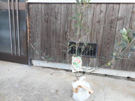 オリーブの木 ロシオーラ 苗木3年生苗