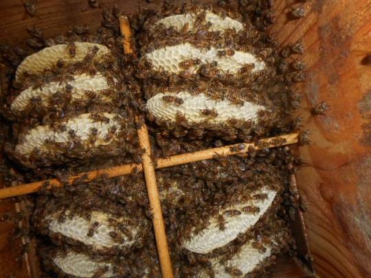 孫分蜂群 日本蜜蜂 9月