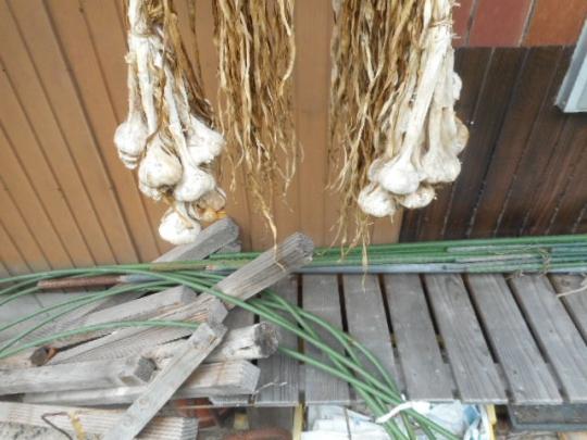 にんにくの種芋 H2810