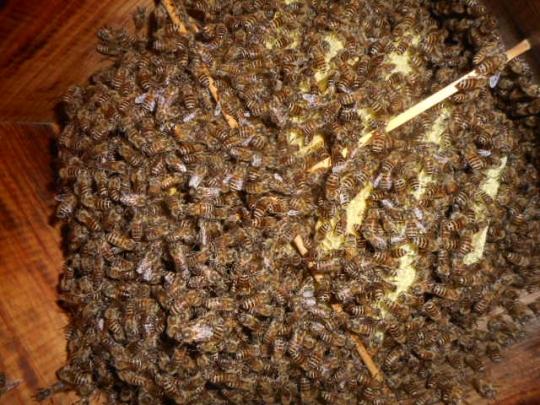日本蜜蜂1 秋 H28年10月 島根県益田市