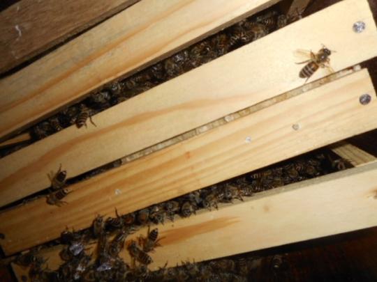 日本蜜蜂3 秋 H28年10月 島根県益田市