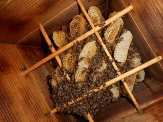 日本蜜蜂4 秋 H28年10月 島根県益田市