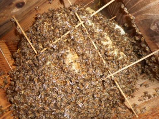 日本蜜蜂5 秋 H28年10月 島根県益田市