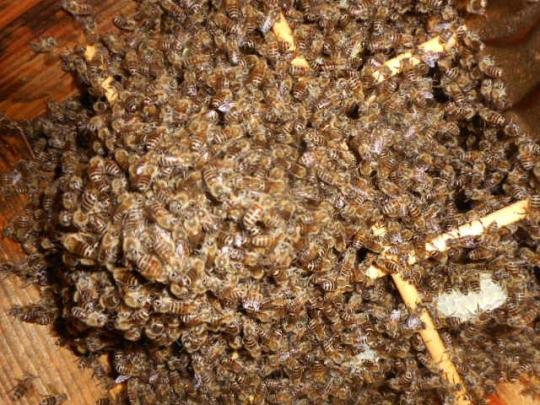日本蜜蜂6 秋 H28年10月 島根県益田市