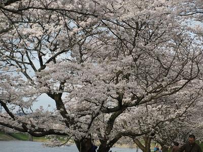桜2016-3