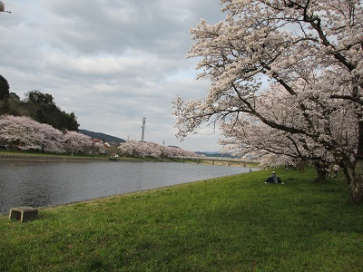 桜2016-4
