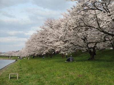 桜2016-5
