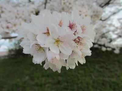 桜2016-8