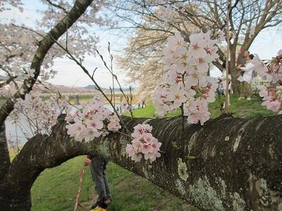 桜2016-12