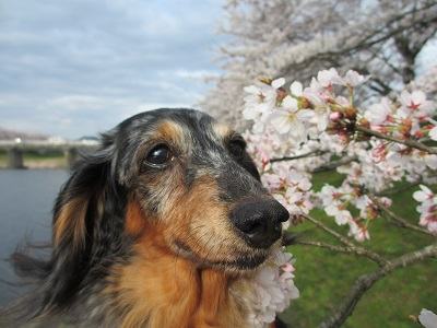 桜と実結2016