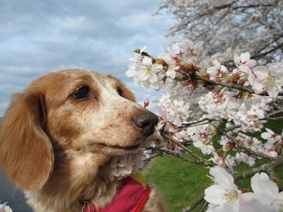 桜と笑花2016