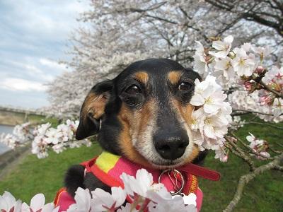 桜と姫2016
