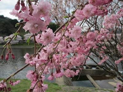 枝垂桜2016