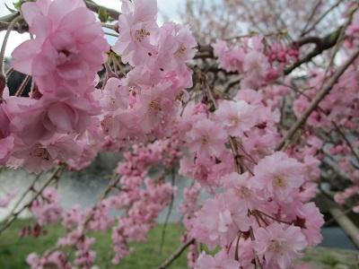 枝垂桜2016-2
