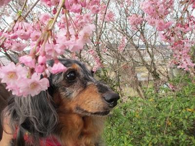 枝垂桜と実結2016