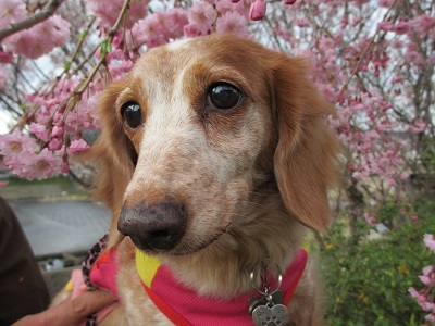 枝垂桜と笑花2016