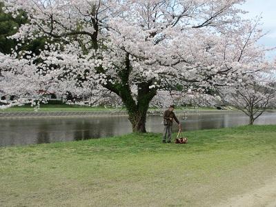 桜の木、大きいね~