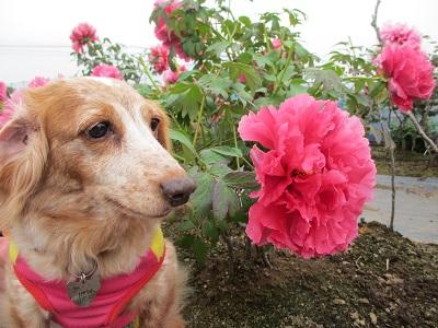 牡丹(赤)と笑花2016
