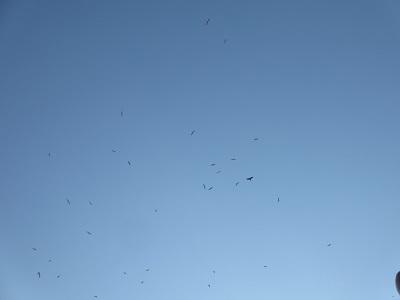 我が家の上空に群れが・・・