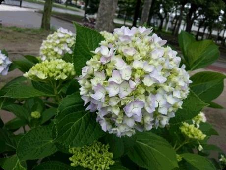 久宝寺緑地の紫陽花1