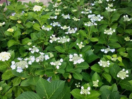 久宝寺緑地の紫陽花2