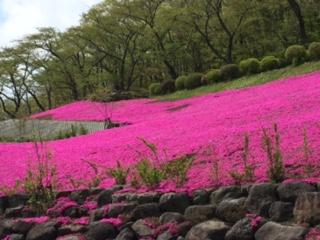 芝桜 霊園