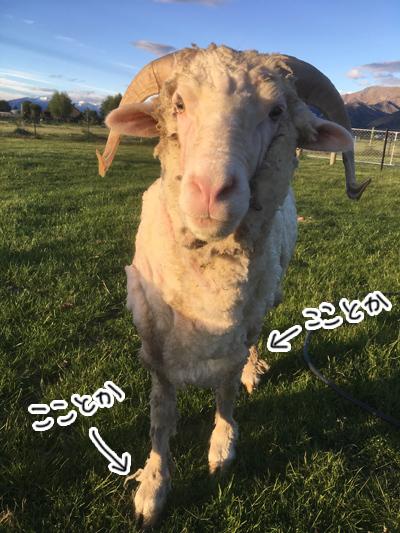 羊の国のラブラドール絵日記シニア!!「みんなのウールはどうするの?」2