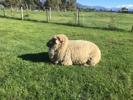 羊の国のラブラドール絵日記シニア!!「毛刈り届け」1