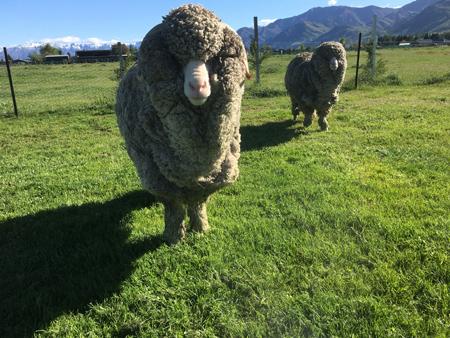 羊の国のラブラドール絵日記シニア!!「毛刈り届け」2