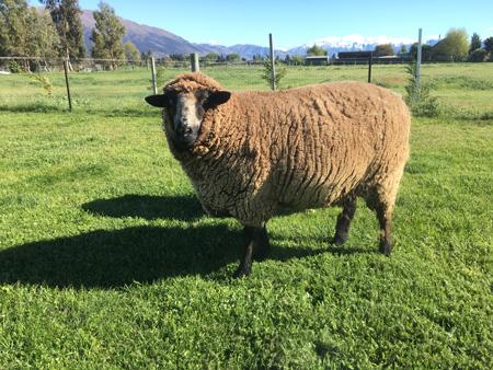 羊の国のラブラドール絵日記シニア!!「毛刈り届け」3
