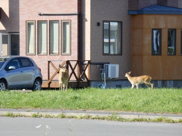 地元の鹿3