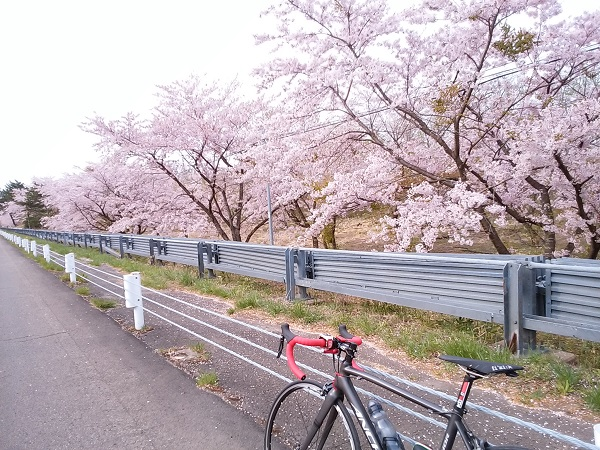 泉ヶ岳_桜1