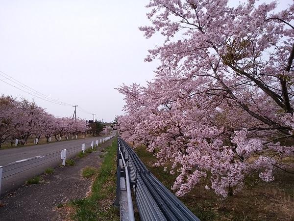 泉ヶ岳_桜2