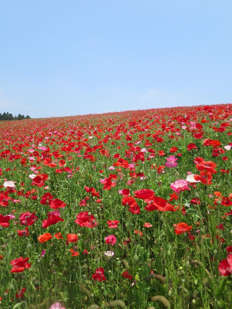天空を彩るポピー畑(2)