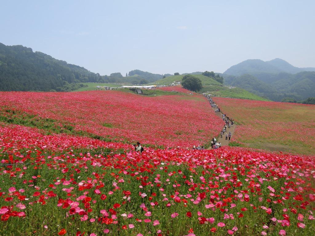 天空を彩るポピー畑(7)