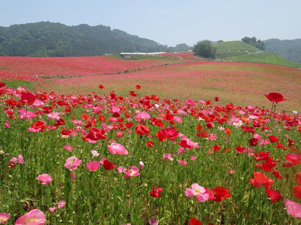 天空を彩るポピー畑(8)
