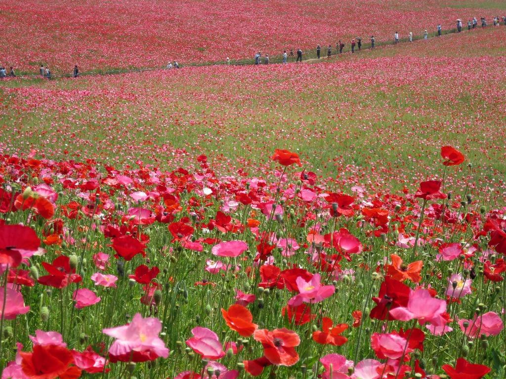 天空を彩るポピー畑(9)