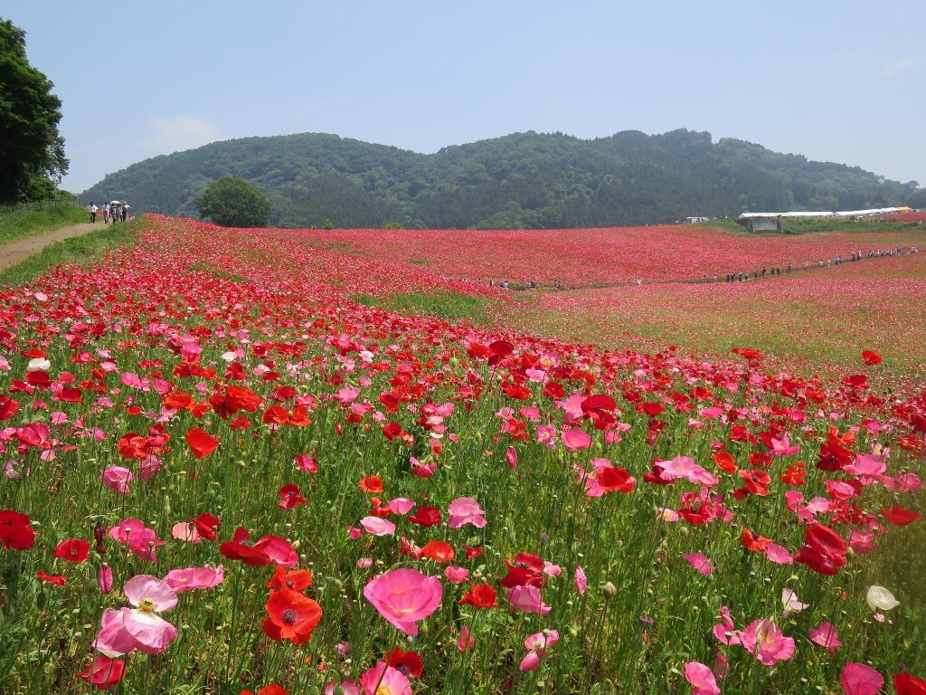 天空を彩るポピー畑(10)