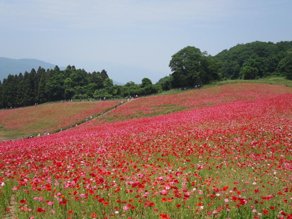 天空を彩るポピー畑(11)