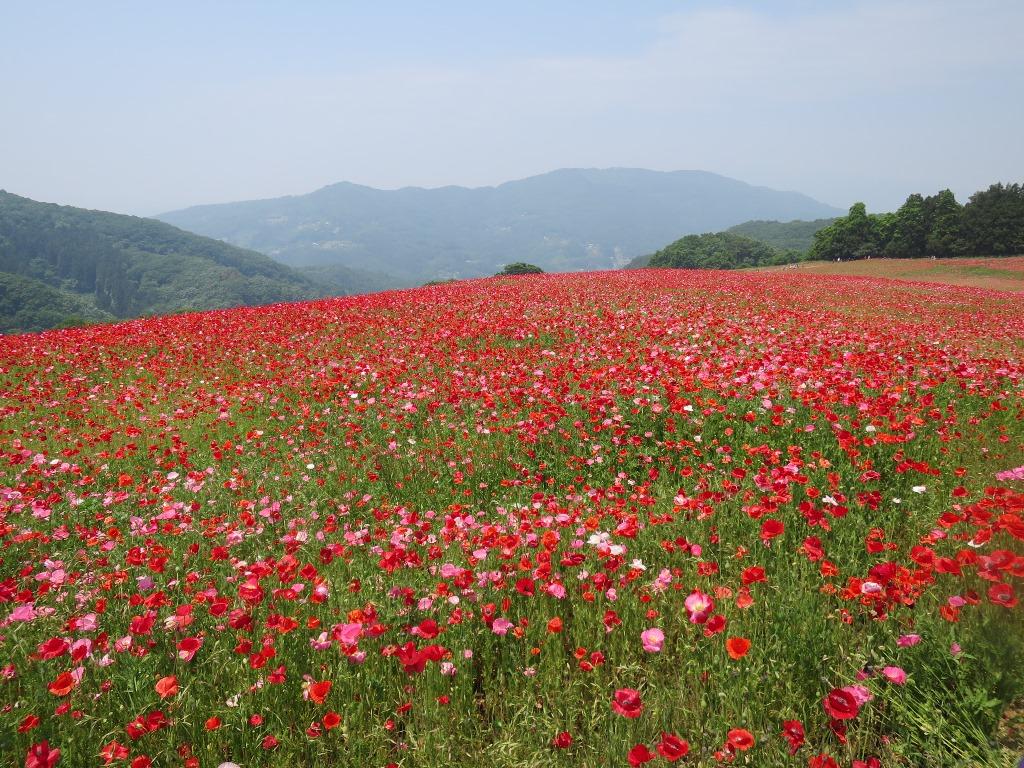 天空を彩るポピー畑(12)