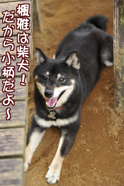 楓雅は柴犬!