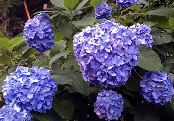 梅雨空に咲く紫陽花