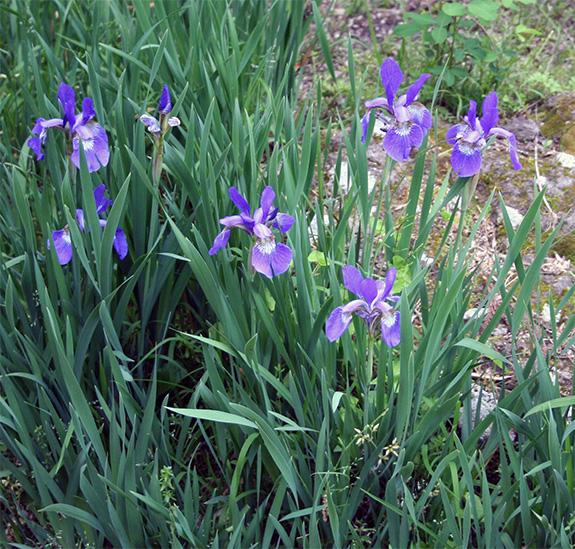 六月初旬に咲いた花菖蒲