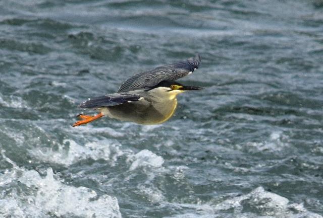 ササゴイ飛翔2web