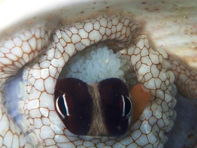 タコ卵2web