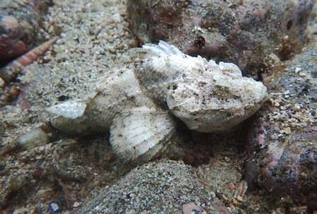 サツマカサゴ白web