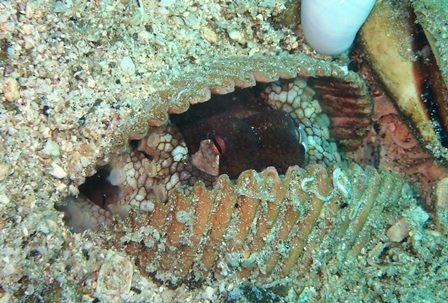 貝の中のタコP8090025